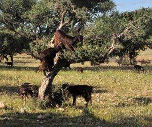 Flying Goats, Taroudant