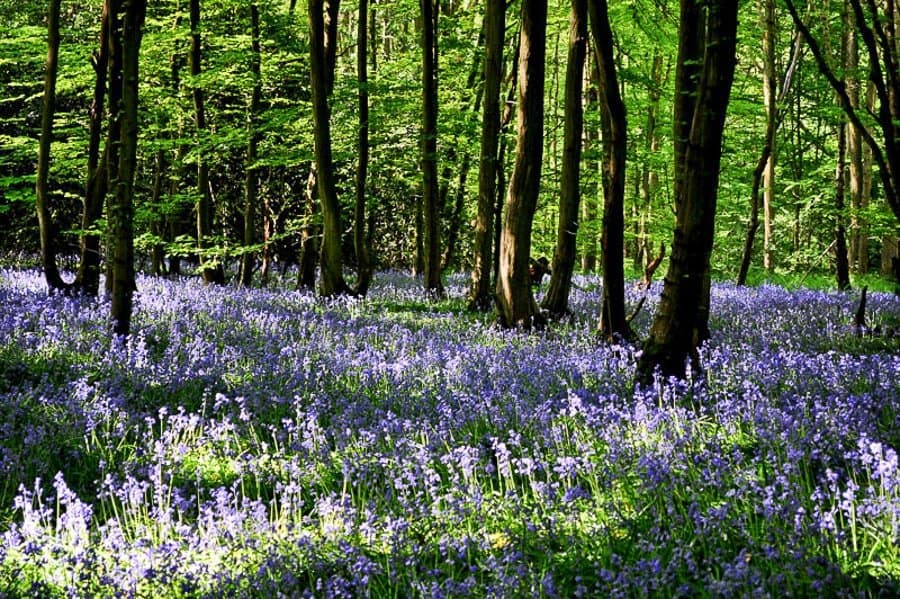Bluebell Woods West Sussex