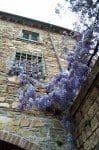 Wisteria in San Donato, Tuscany