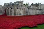 Tower Poppies