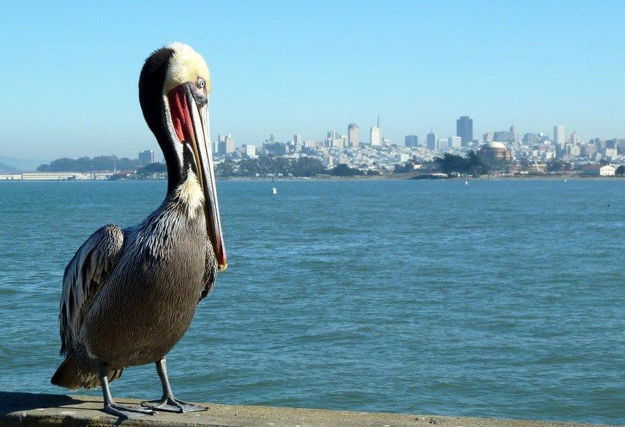 San Francisco City Skyline and pelican