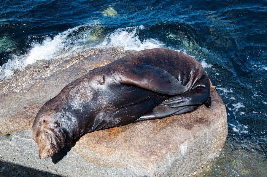 Basking Sea Lion
