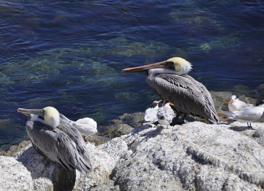 Pelicans, Monterey Bay