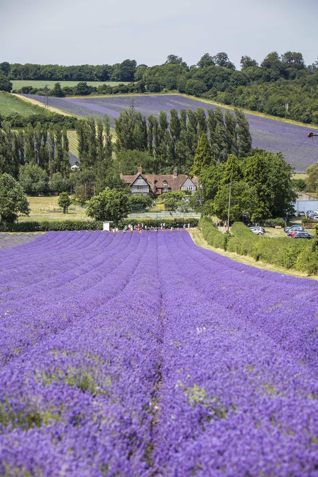 Lavender Field Kent