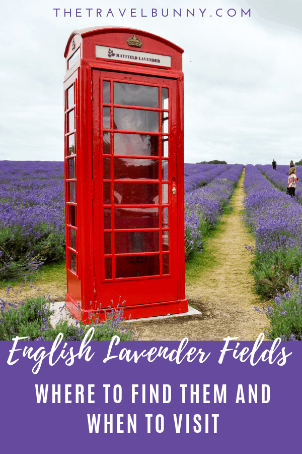 red telephone box in field of lavender