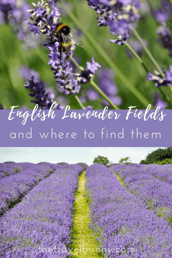 Lavender fields in England