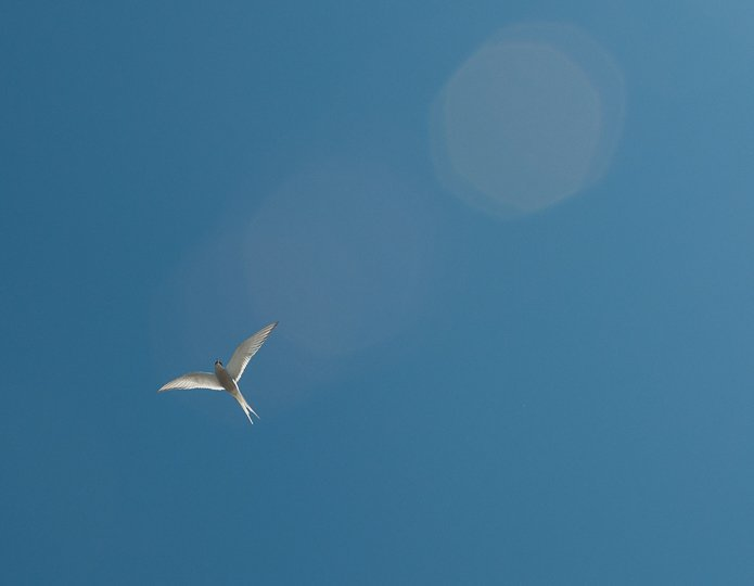 arctic-tern-in-flight