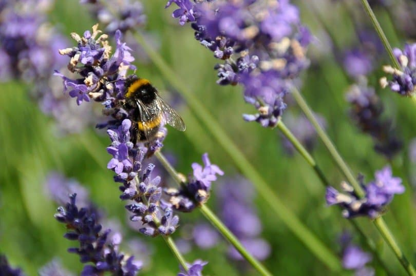 Bee-on-lavender