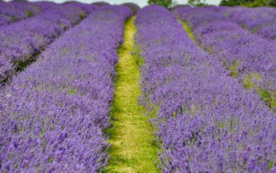 Visiting English Lavender Fields
