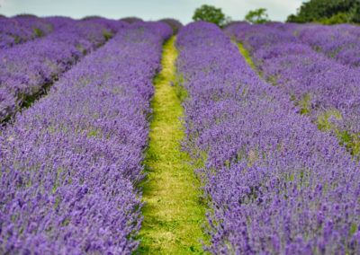 Where to find the best lavender fields in England 2020