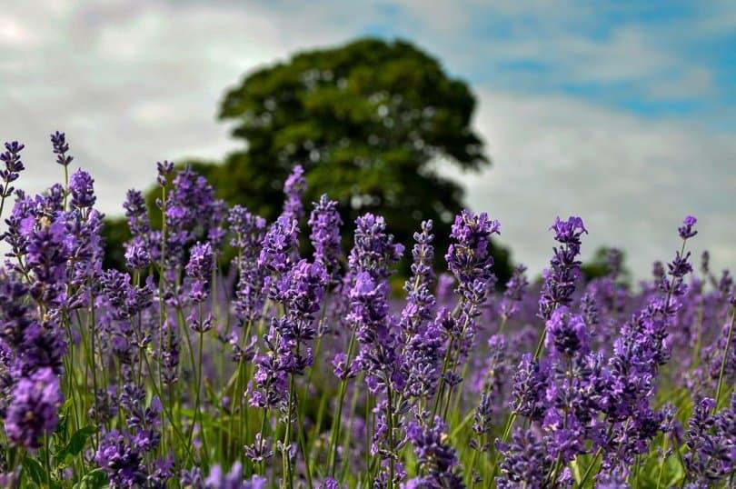 lavender-field-tree