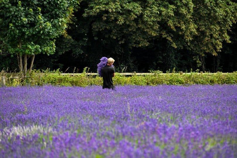 lavender picking