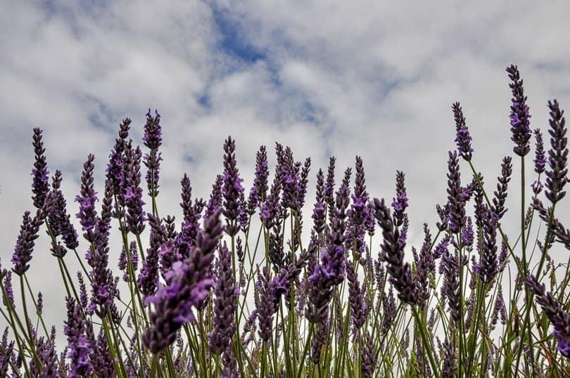 Lavender field UK