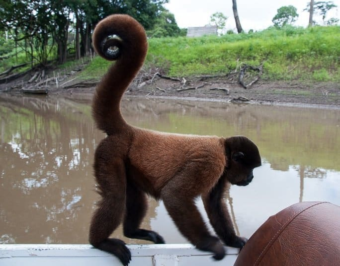 woolly-monkey