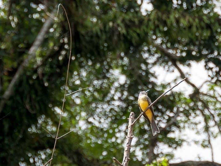 Flycatcher-amazon-jungle