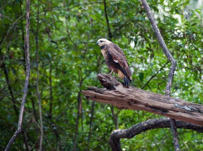 collared-hawk-amazon-jungle