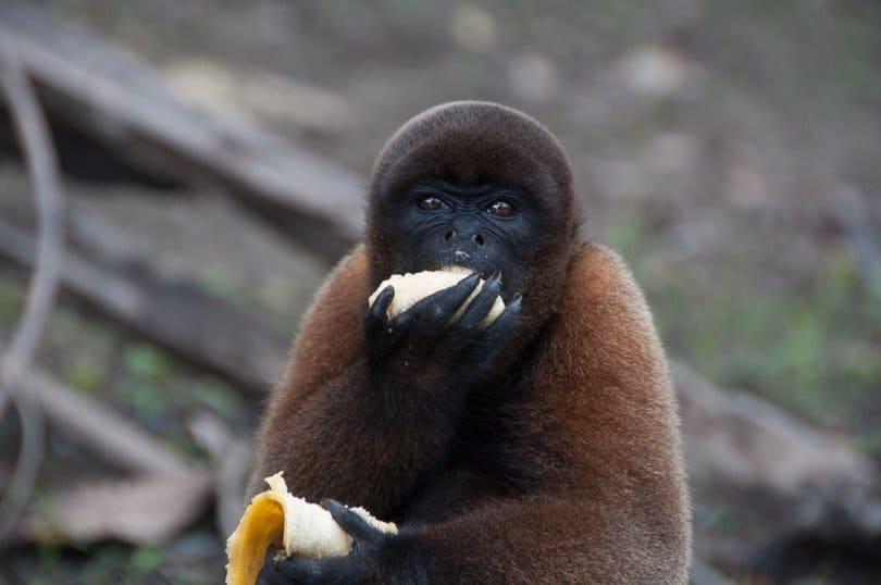 woolly-monkey