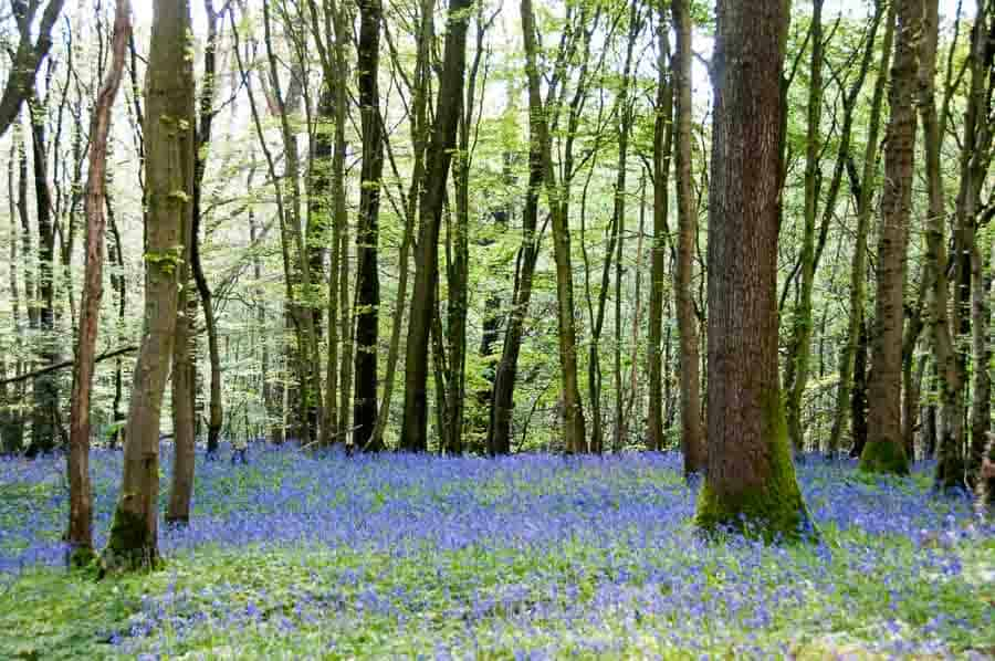 Sussex Bluebell Woods