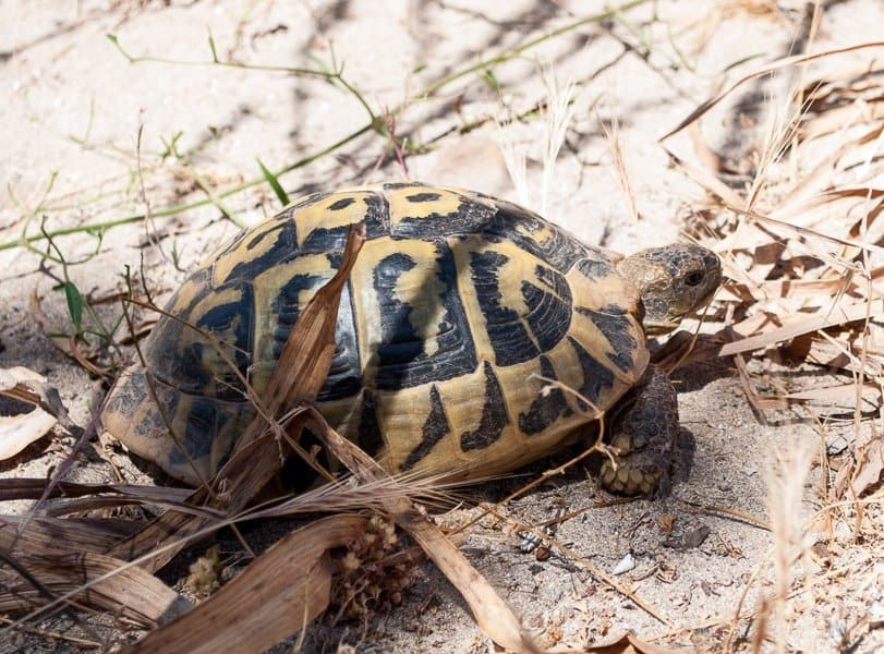Tortoise in Menorca bio sphere reserve