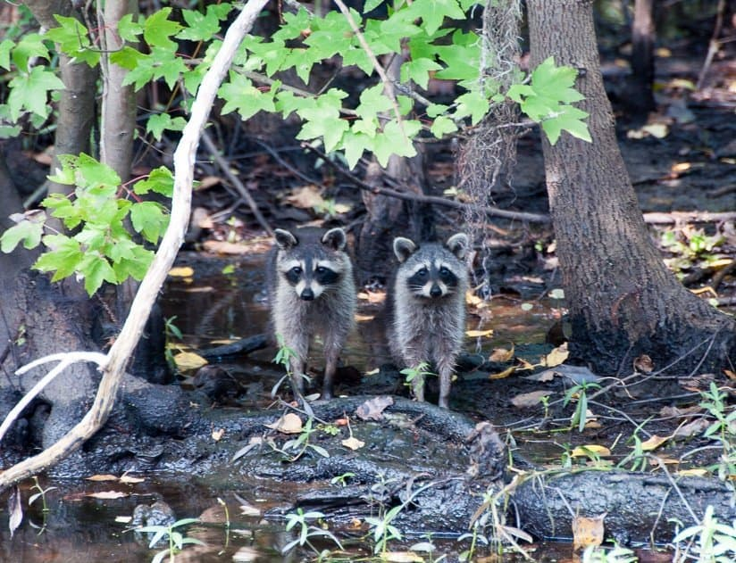 Racoons in New Orleans Swamp