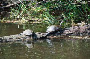 Turtles in New Orleans Swamp