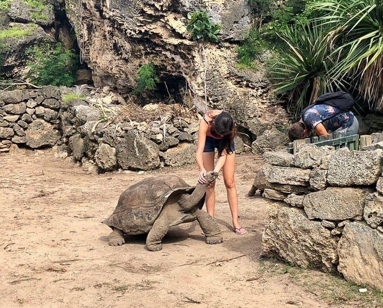 Giant Tortoise, Rodrigue Island