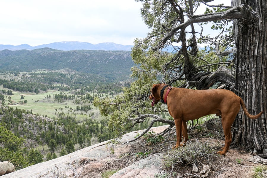 Dog looking out over Roosevelt National Forest