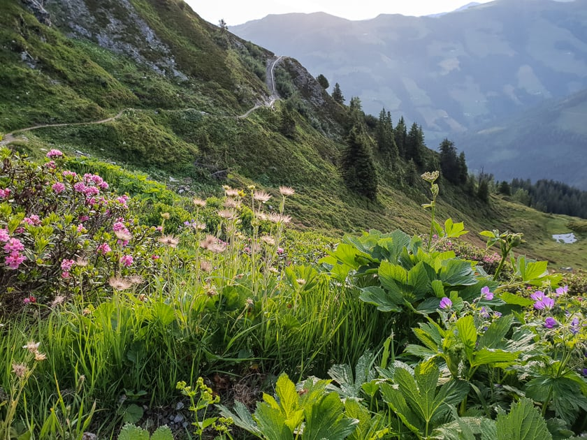 Alpine Flowers in Alpbachtal
