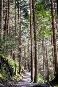 Pathway through Alpine forest