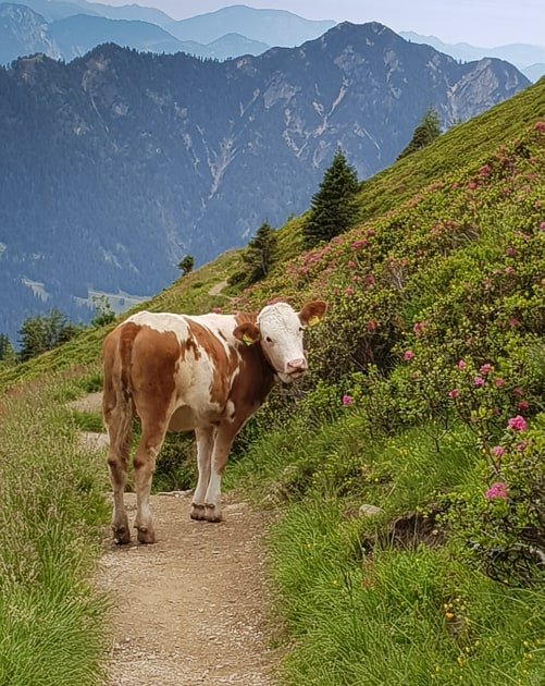 brown and white cow on a mountain path