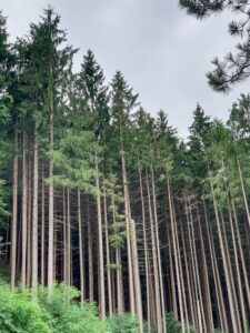Fir tree forest in Austria
