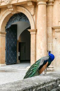 Peacock at Eggenberg