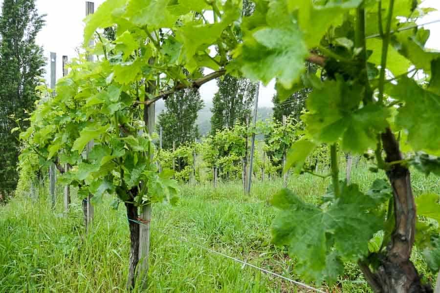 Vineyard in South Styria