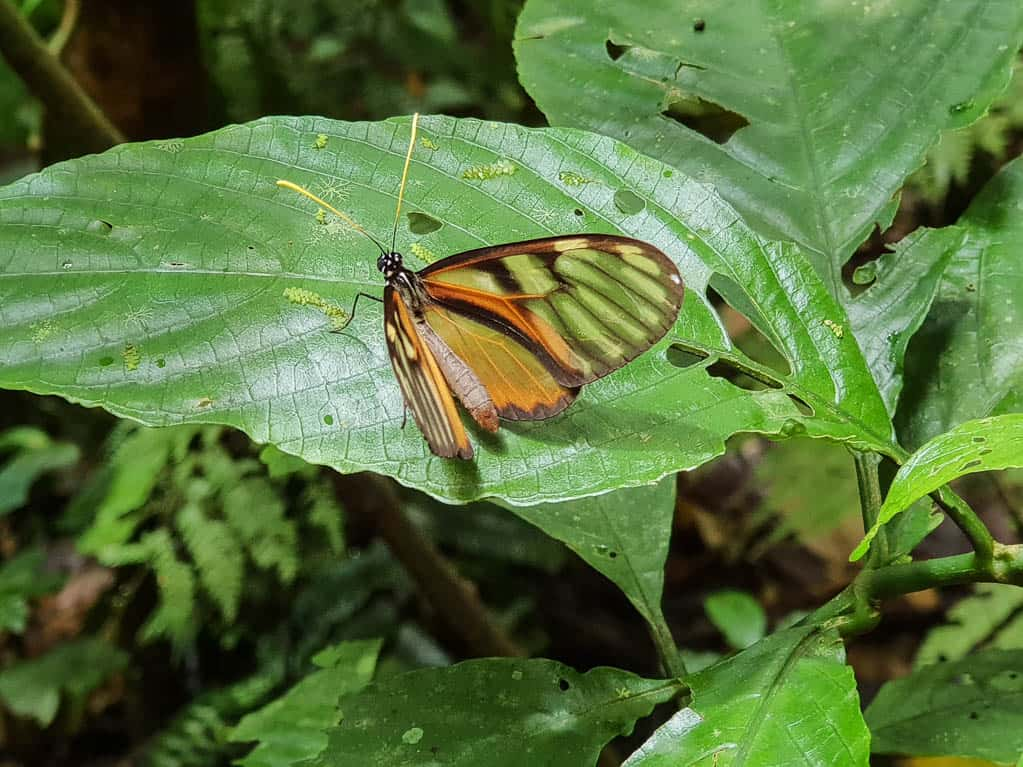 Glass Wing Butterfly, Costa Rica