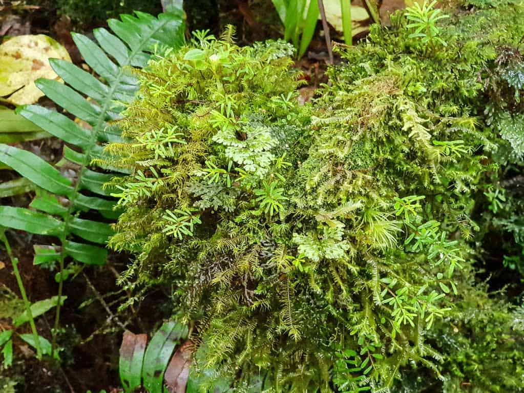 Mosses and ferns, Monteverde cloud forest