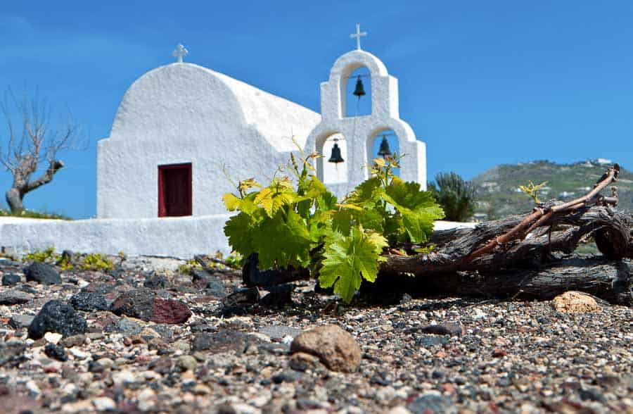 Grape vine in Santorini, Greece