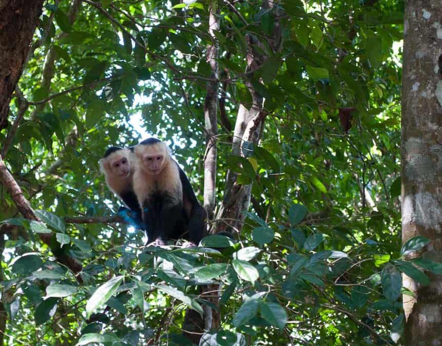 White Faced Capuchin Monkey, Manuel Antonio National Park