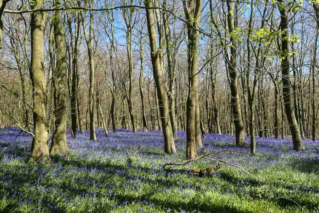 Bluebell woods in East Sussex